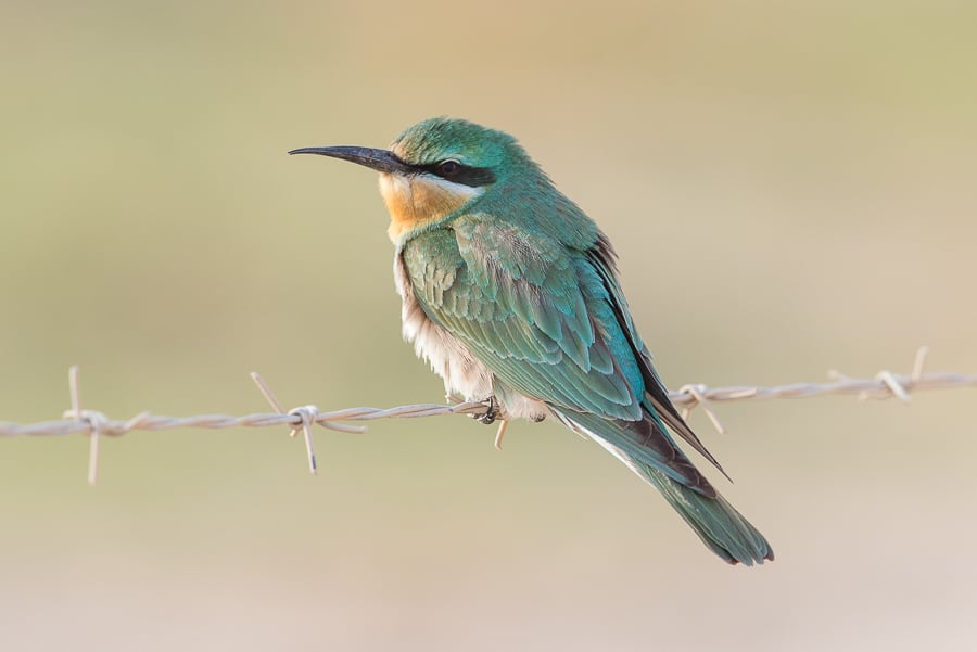 Blue-cheeked Bee-eaters – Jubail