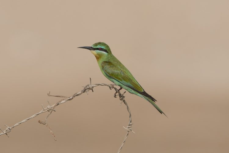 Blue-cheeked Bee-eater – Jubail