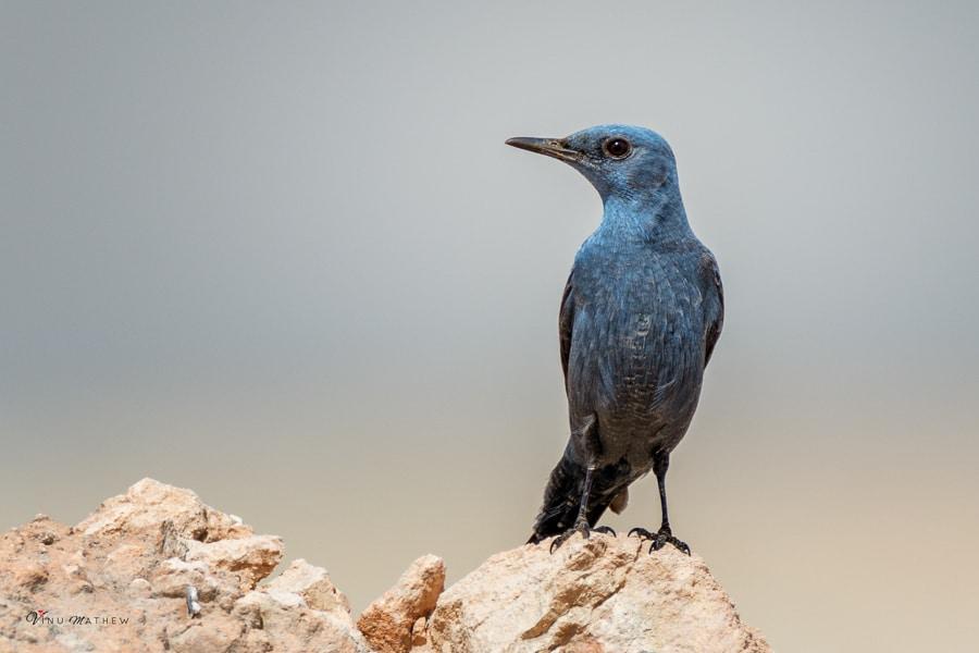 Blue Rock Thrush and Eastern Black Redstart – Qatar