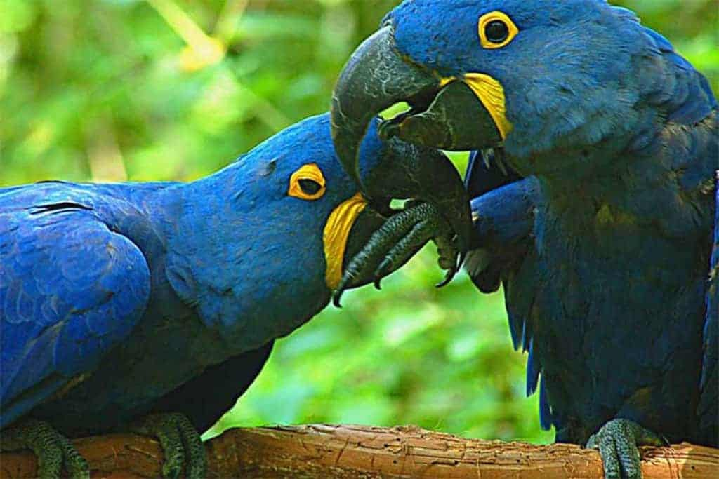 "Bolivia's domestic parrots seen as ""crop pests"""
