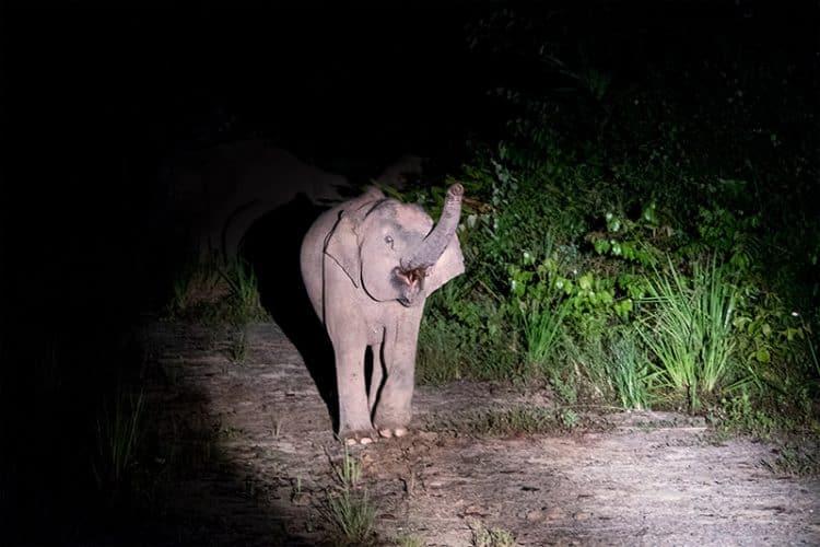 Borneo Pygmy elephant Deramakot Forest Reserve
