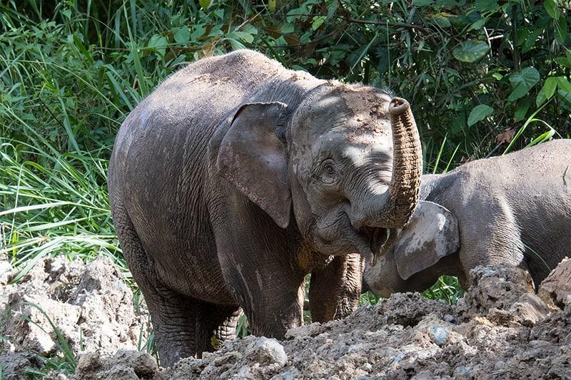 Borneo pygmy elephant in Deramakot Forest Reserve