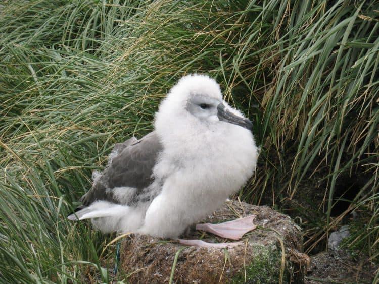 An albatross chick. Photo by Ben Tullis, Cambridge, UK