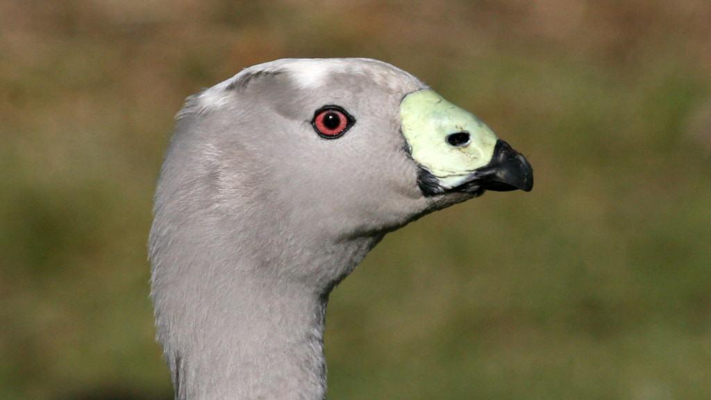 Cape Barren Goose Cereopsis novaehollandiae 2