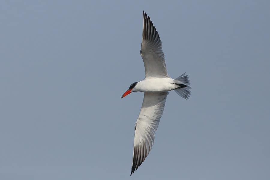 Good numbers of Caspian Terns – Jubail
