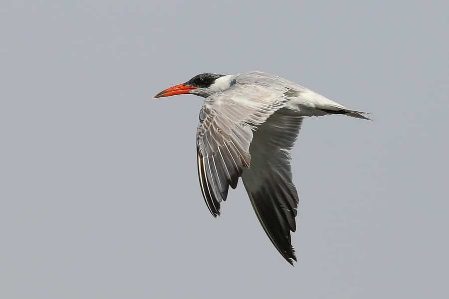 Water birds around Jubail