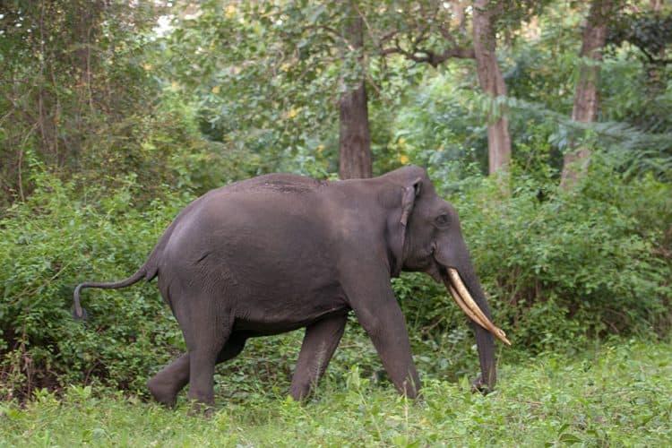 Charging Elephant in Kabini