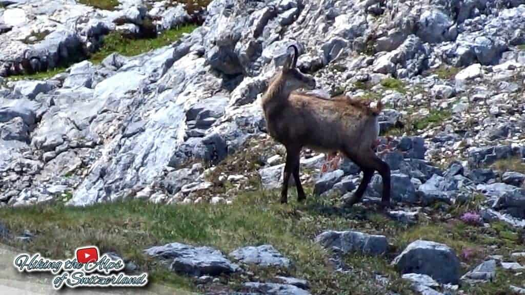 Lucky Video Action Shot of two Chamois (Rupicapra rupicapra)
