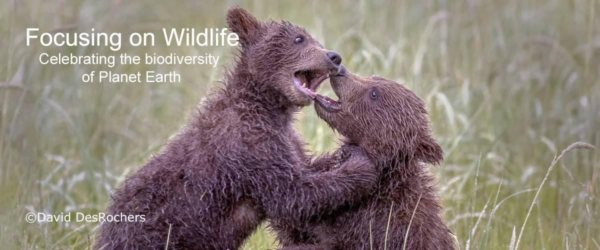 Coastal Brown Bear Cubs Play Fighting by David DesRochers