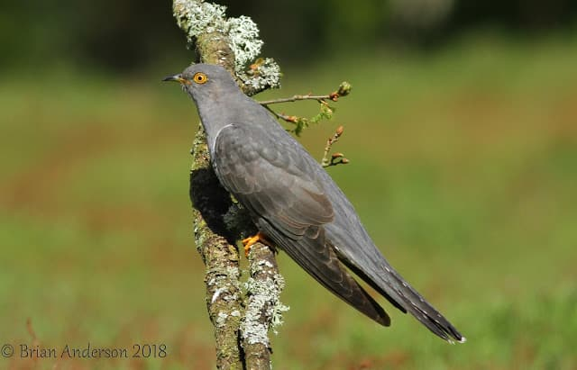 More of Colin the Cuckoo