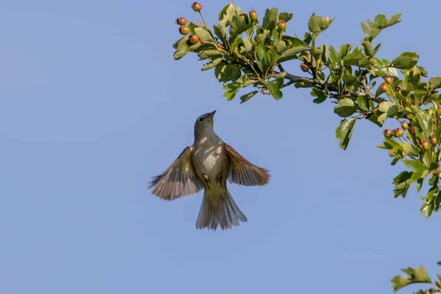 Disappearing Nightingales
