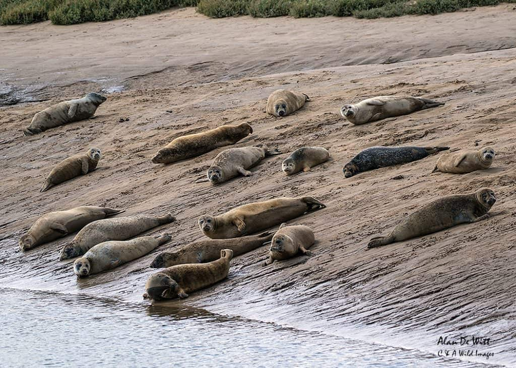 Common Seals basking in the creek