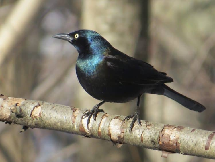 Grackle Pros and Cons