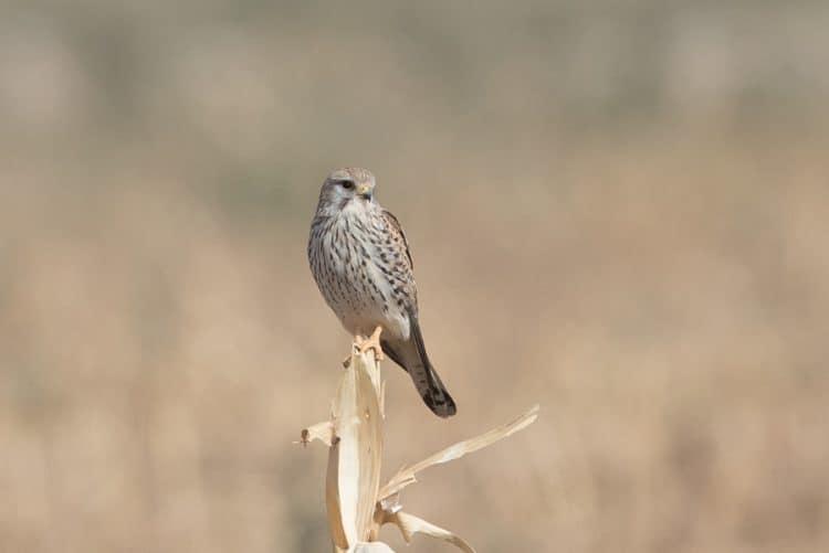 Winter birding – Haradh