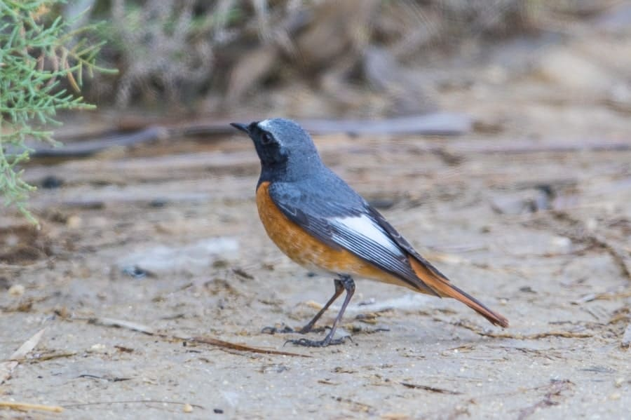 Ehrenberg's Redstart – Jubail