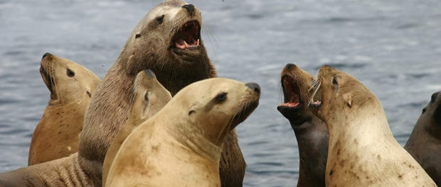 Sea lions to be culled to protect salmon
