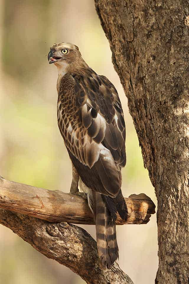 Crested Hawk Eagle in Pench