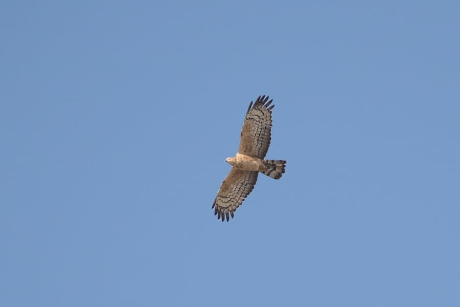Crested Honey Buzzard in Alheefah Park – Tanoumah