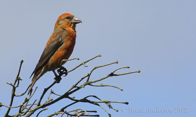 A good year for Crossbills