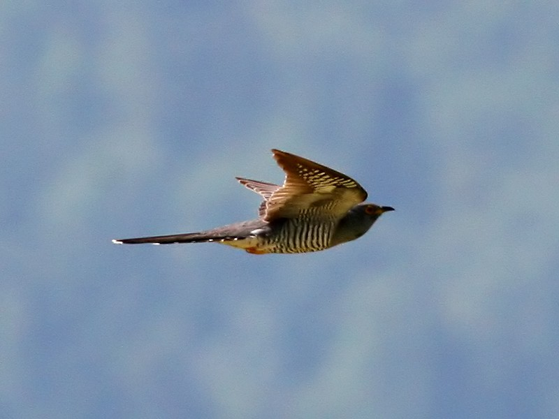 Cuckoo Cuculus canorus 1