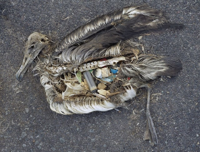 The unaltered stomach contents of a dead albatross chick. Photo by Chris Jordan)