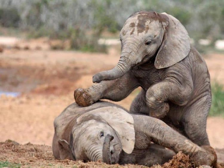 US to import baby elephants from Zimbabwe despite uproar