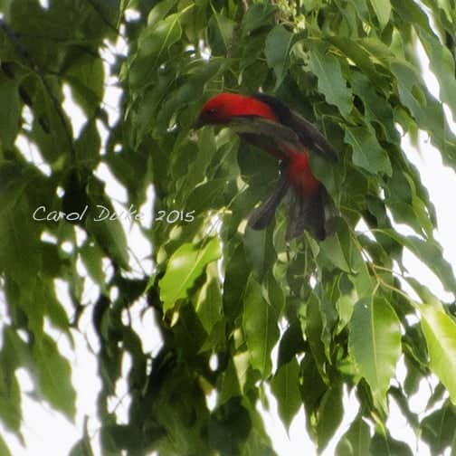A Bestiary – Scarlet Tanager