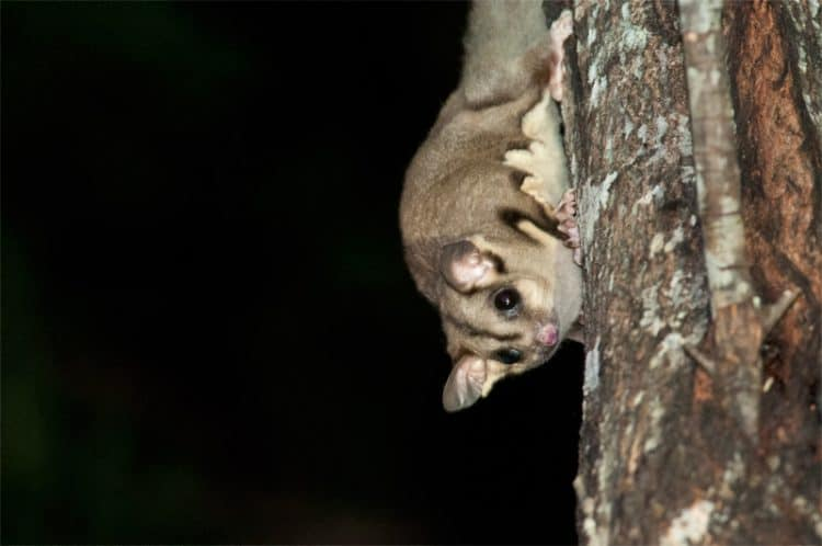 Sugar Glider at Royal National Park, Sydney