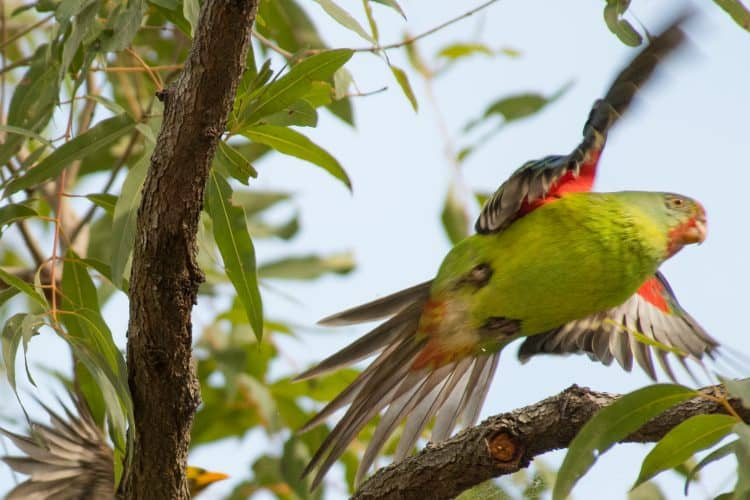Swift Parrot being chased away by a Bell miner