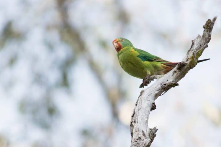Critically Endangered Swift Parrots visit Sydney