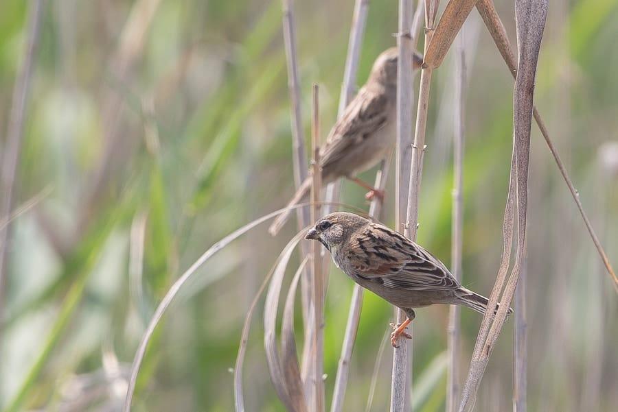 Dead Sea Sparrows still present – Jubail