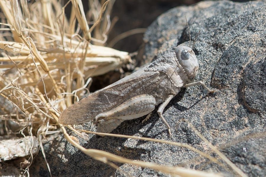 The Desert Locust – Abha area