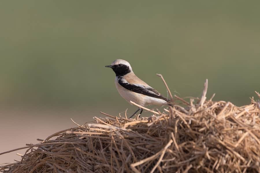 Wheatears everywhere – Haradh