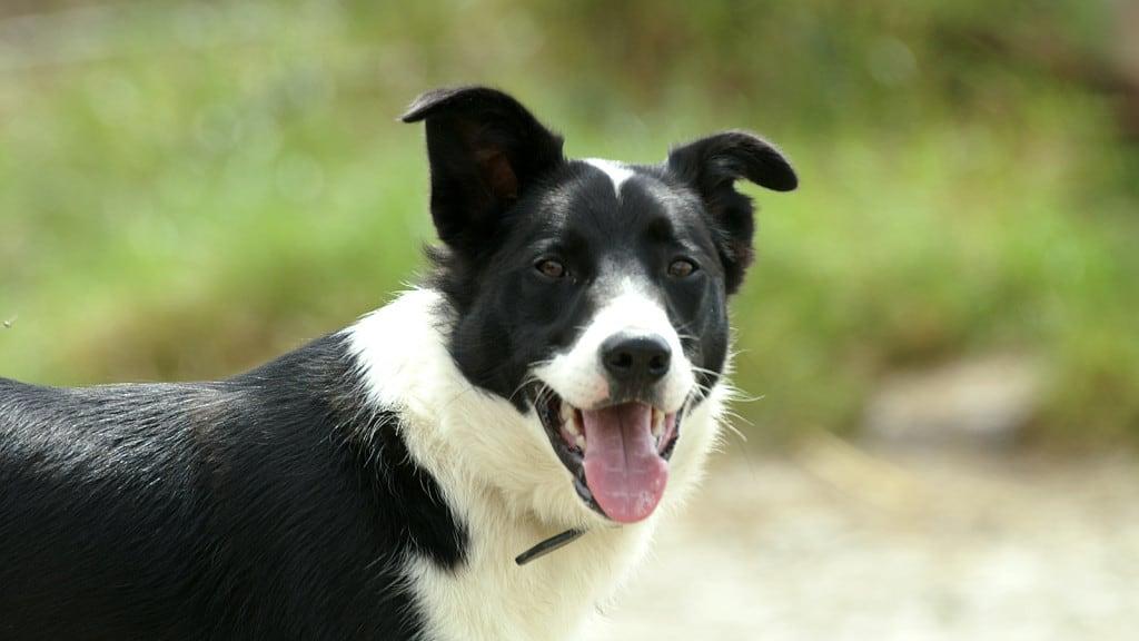Dog Canis Lupus Familiaris 187 Focusing On Wildlife