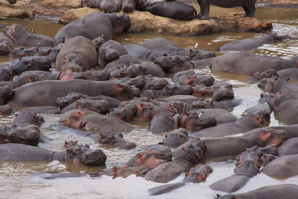 Death by hippo poop: Scientists solve a fish massacre in the Mara River