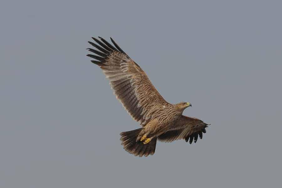 A second calendar year Eastern Imperial Eagle – Sabkhat Al Fasl