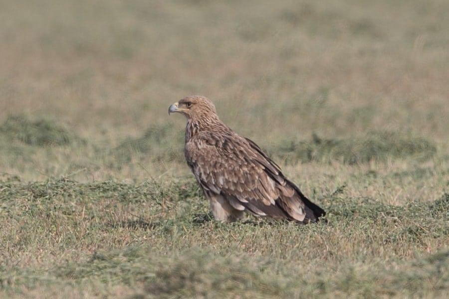 Eastern Imperial Eagle – Haradh