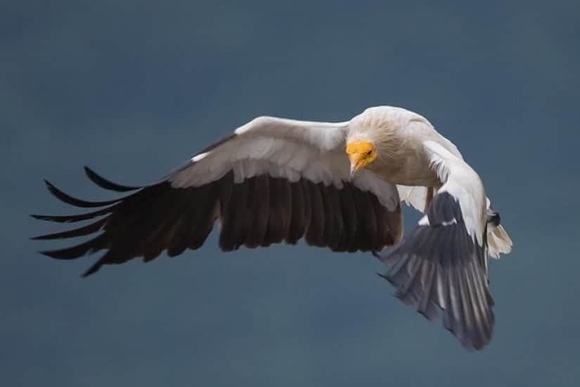 Saving the Egyptian Vulture – Have your say!