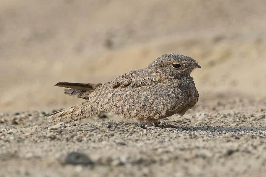 Egyptian Nightjars still around in good numbers – Jubail
