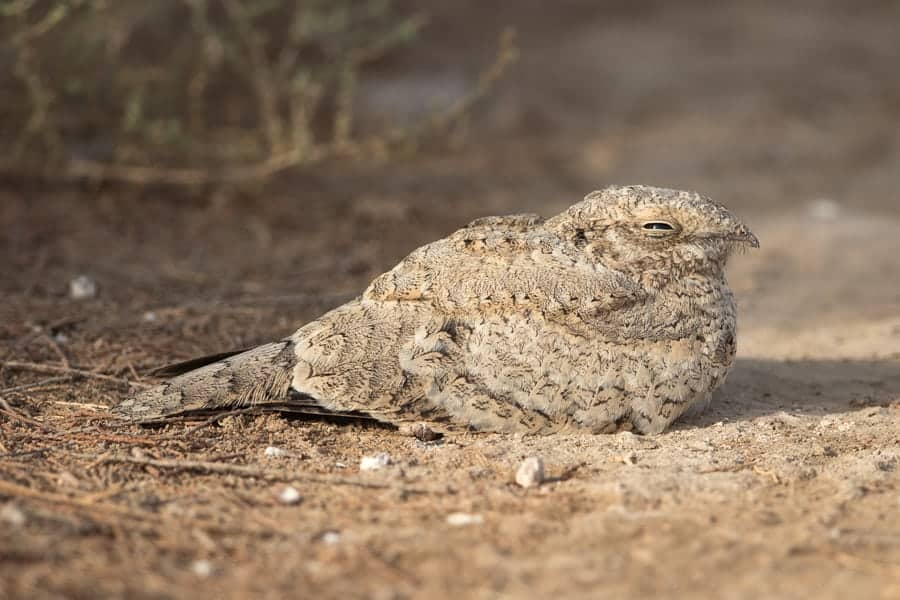 Record count of Egyptian Nightjar – Jubail
