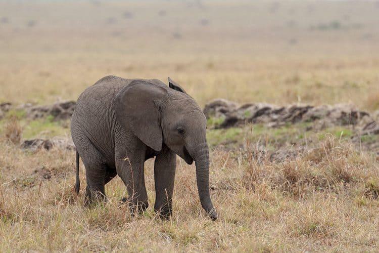 Elephant calf in Masai Mara