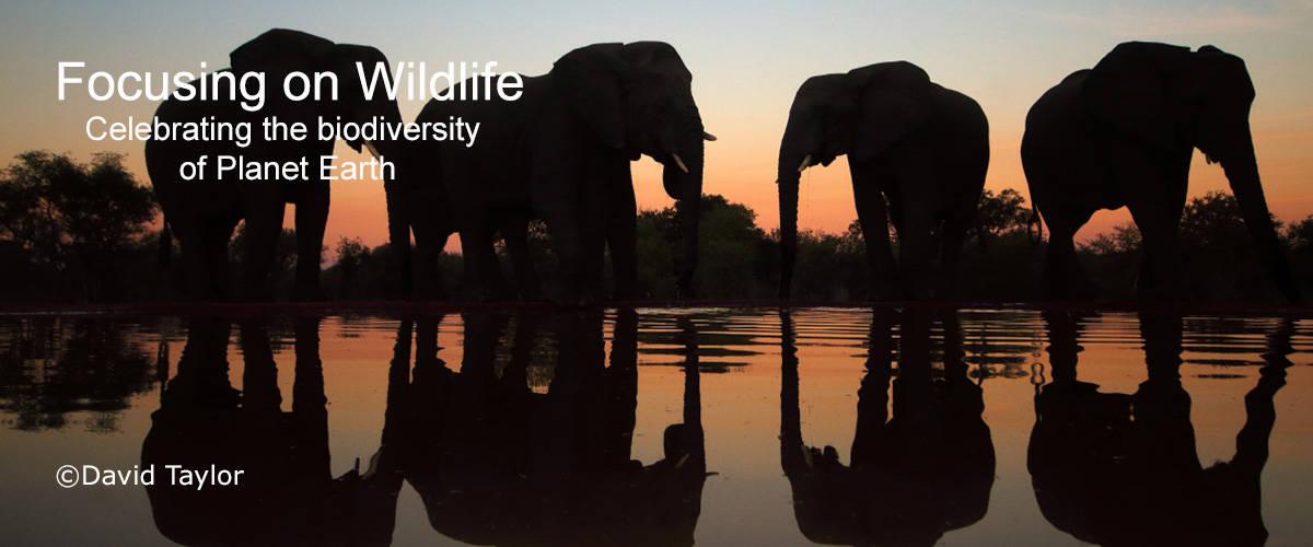 Elephants at Waterhole on Dusk by David Taylor