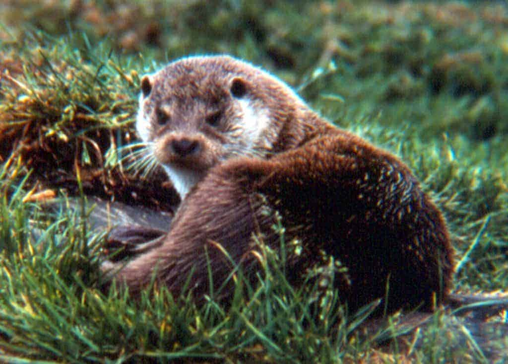Austria flouts EU law to cull otters