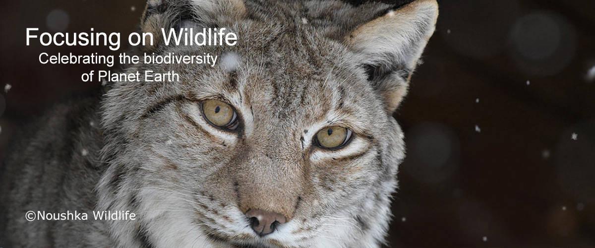 Eurasian Lynx by Noushka Wildlife