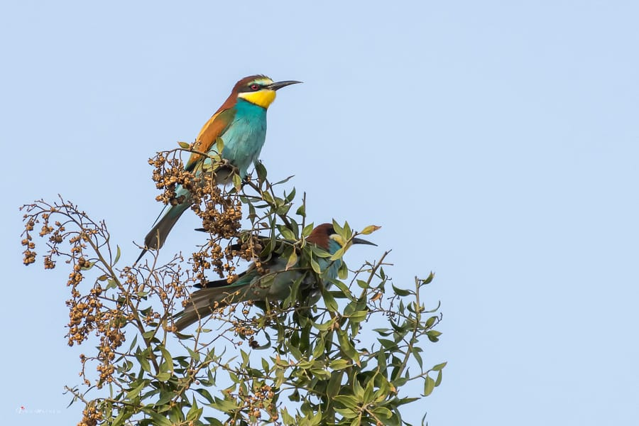 Bee-eaters – Records by Vinu Mathew
