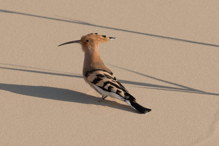 Eurasian Hoopoe on migration – Jubail area