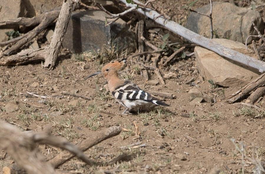 Birding Wadi Grosbeak – Near Bani Saad