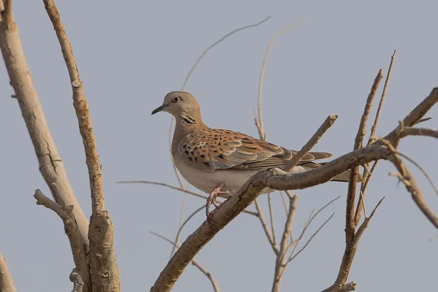 First Autumn European Turtle Dove – Jubail area