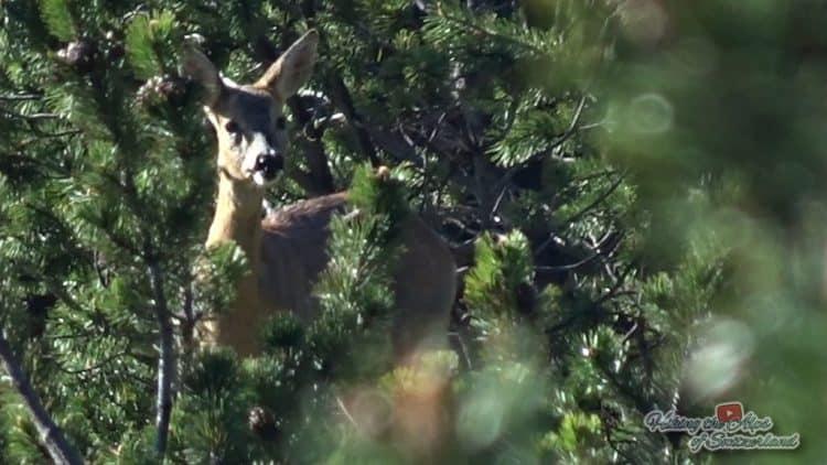 European Roe Deer (Capreolus capreolus) – Video