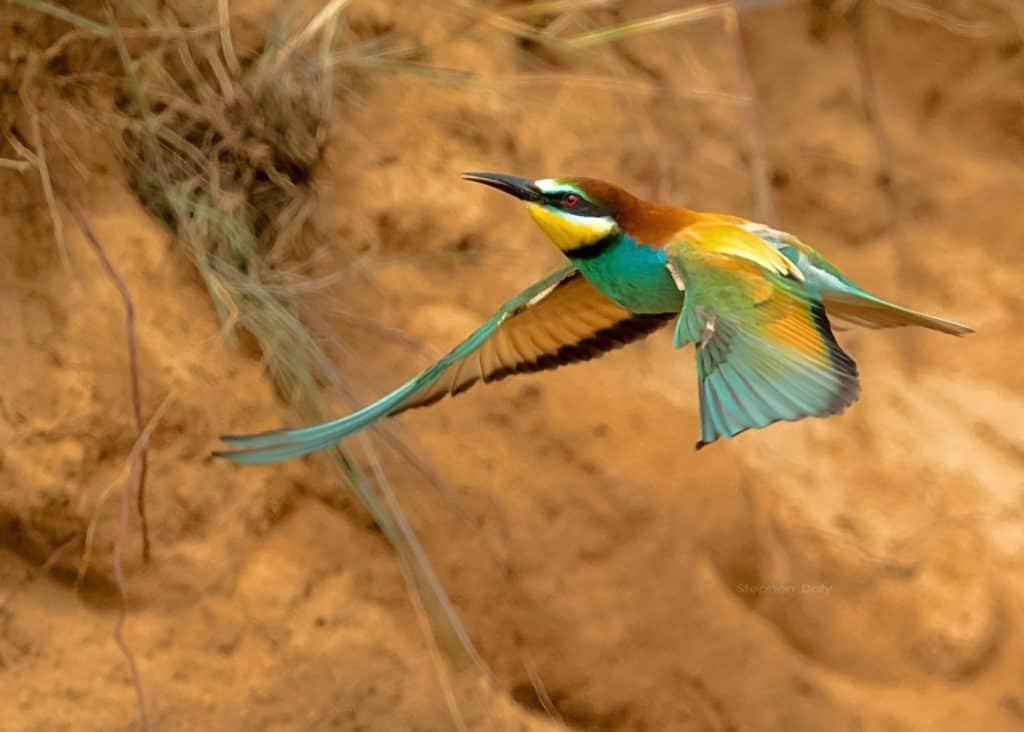 European Bee-eaters in Spain